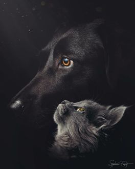 Фото Темно-серый кот смотрит на черного пса, by Stephanie Paquot