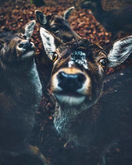 Фото Семейство любопытных оленей, by Marcel Siebert
