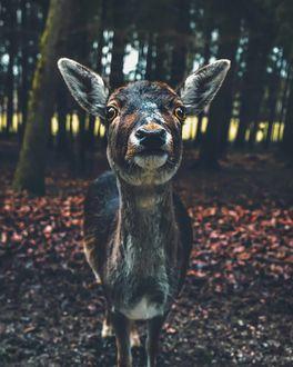 Фото Олень в осеннем лесу, by Marcel Siebert