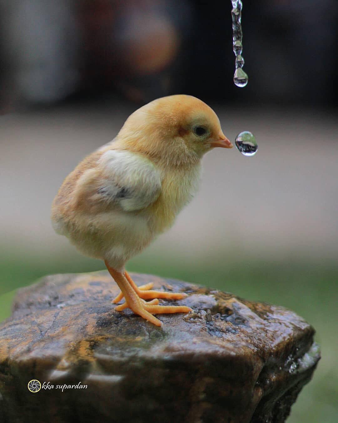 Фото Цыпленок стоит на камне перед каплей воды, by okka supardan
