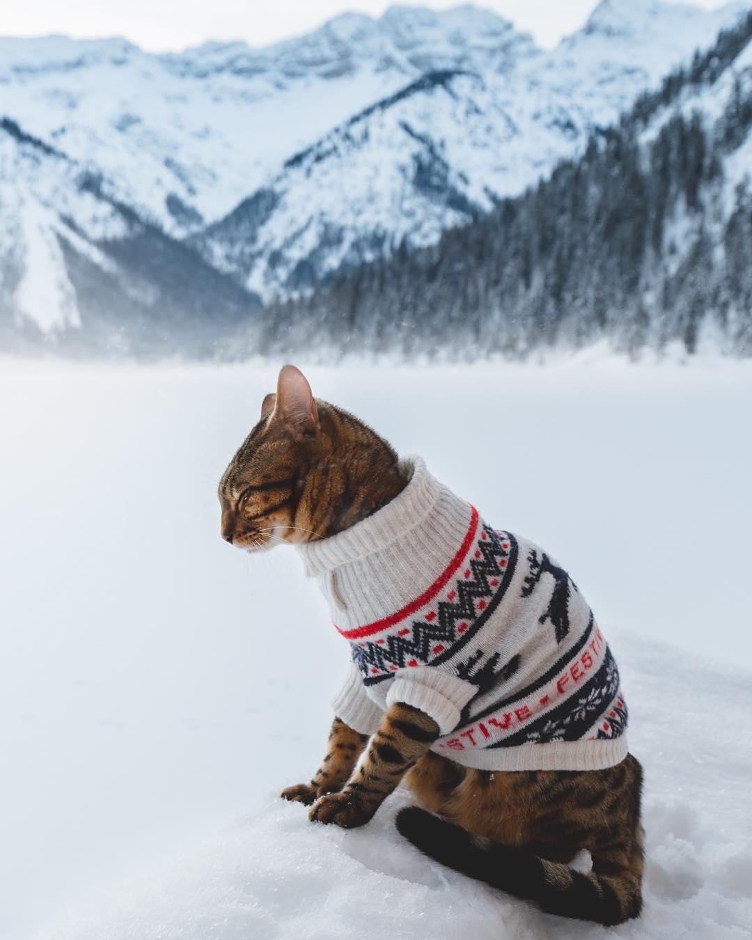 Фото Бенгальская кошка в вязанном свитере сидит на снегу, by Laura Vilser