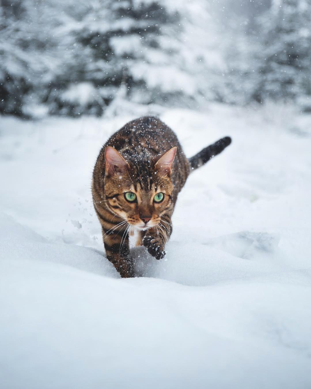 Фото Бенгальская кошка идет по сугробам, by Laura Vilser