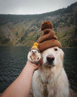 Фото Ежик и собака породы золотистый ретривер в шапочках