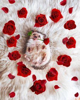 Фото Ежик с розой в окружении роз, выложенных в форме сердечка, by mr. pokee