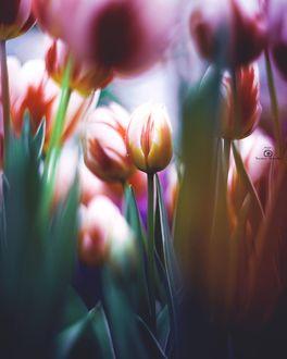Фото Весенние тюльпаны на размытом фоне, фотограф Татьяна Миронова