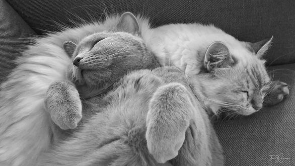 Фото Две кошки спят на кресле, by Pajunen