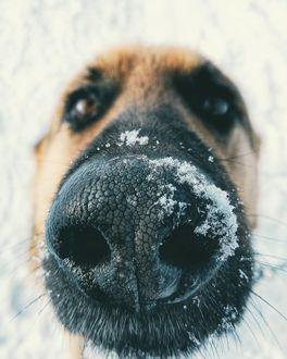 Фото Мордочка собаки в снегу, фотограф Юрий Галицкий (© chucha), добавлено: 10.02.2019 08:17