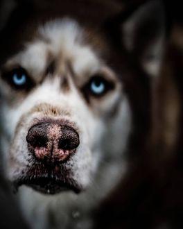 Фото Мордочка лайки, by Christopher Webber (© chucha), добавлено: 10.02.2019 08:18
