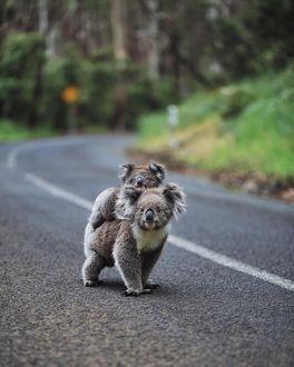 Фото Коала со своим детенышем на дороге, by Patricia (© chucha), добавлено: 10.02.2019 08:19