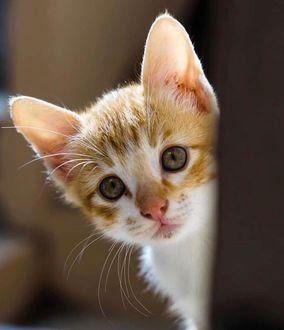 Фото Выглядывающий бело-рыжий котенок