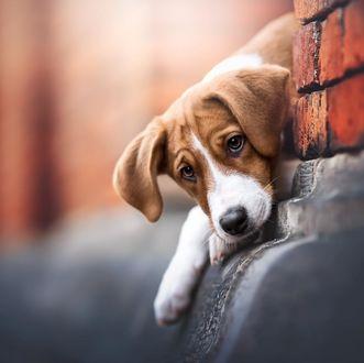 Фото Выглядывающий из-за угла дома пес породы бигль