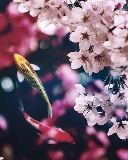 Фото Карпы кои под весенней цветущей веткой, by meg_and_non