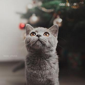 Фото Дымчатая кошка смотрит вверх, by masha_littlefox