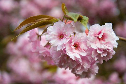Фото Весенняя ветка сакуры