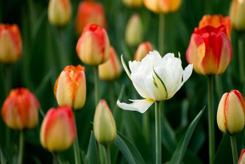 Фото Весенние цветущие тюльпаны