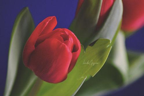 Фото Красные тюльпаны на размытом фоне