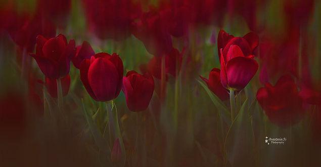 Фото Красные тюльпаны, фотограф Анастасия Ри