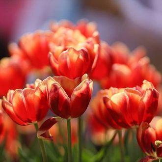 Фото Красные весенние тюльпаны