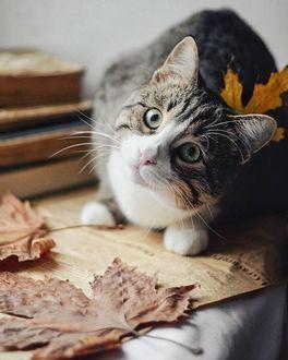 Фото Кошка с осенним листиком куда-то смотрит
