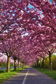 Фото Цветущая весенняя аллея
