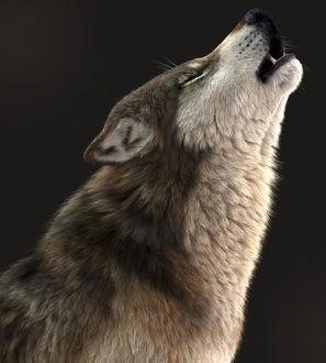 Фото Воющий серый волк, by Massimo Righi