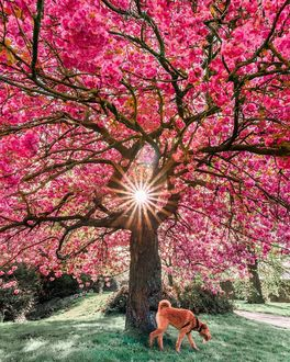 Фото Собака прогуливается у весеннего дерева, by shadz_ig