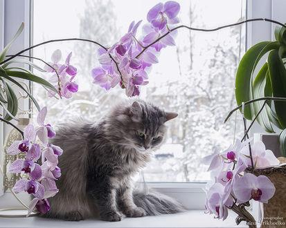 Фото Кошка на подоконнике окна, на переднем плане цветы орхидеи. Фотограф Ирина Приходько