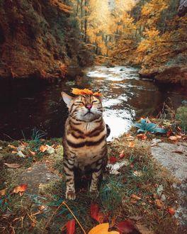 Фото Полосатая кошка с кленовым листочком на мордочке сидит на берегу речки в осеннем лесу, by Marti Gutfreund