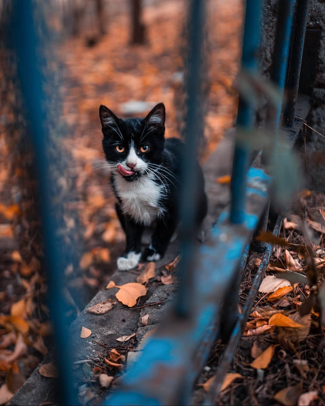 Фото Кошка с высунутым языком за забором, by Roman Petrenko