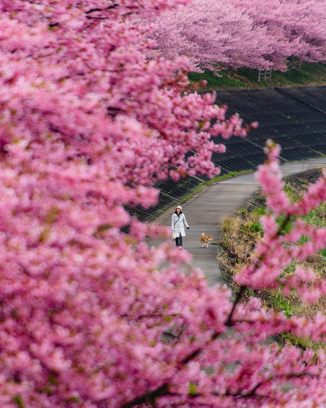 Фото Девушка с собакой прогуливается по дорожке с цветущей сакурой, by locowataru5