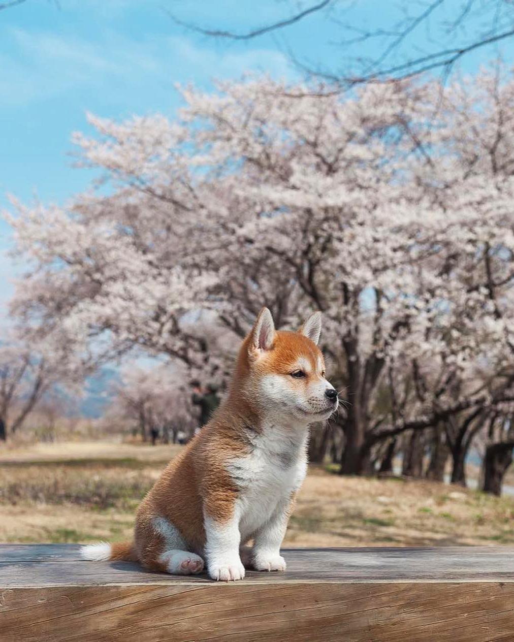 Фото Щенок сиба-ину на прогулке, by Hello Shiba