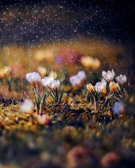 Фото Белые весенние крокусы, фотограф Татьяна Миронова