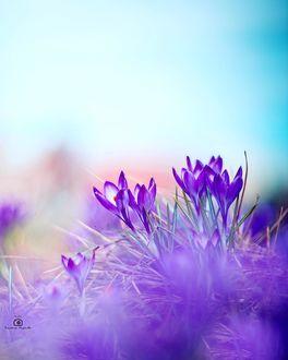 Фото Сиреневые весенние крокусы, фотограф Татьяна Миронова