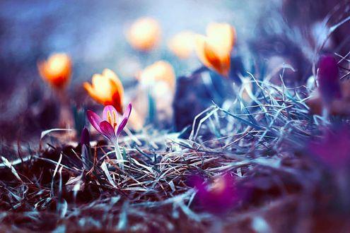 Фото Цветущие весенние крокусы, by baxiaart
