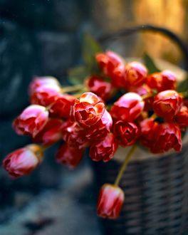 Фото Красные тюльпаны в корзине, фотограф Татьяна Маркова