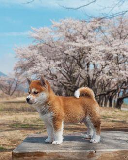 Фото Щенок сиба-ину стоит на деревянной поверхности на фоне цветущих деревьев, by Hello Shiba
