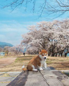Фото Щенок сиба-ину сидит на деревянной поверхности, by Hello Shiba