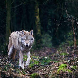 Фото волки лес (489 фото)