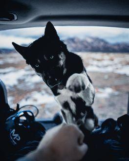 Фото Лайка протягивает лапу хозяину, by Im Gonna Be Frank