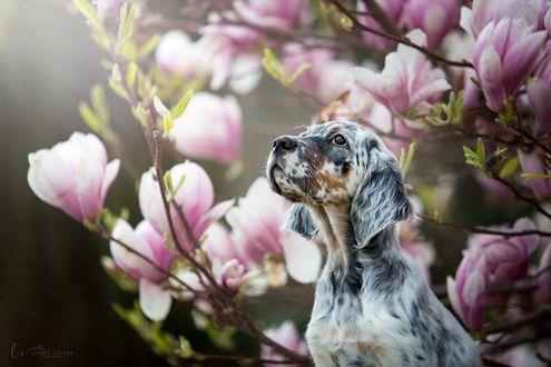 Фото Собака породы английский сеттер у магнолии