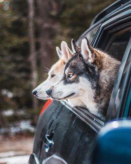Фото Собаки выглядывают из окошка авто, by thenortherndogs