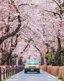 Фото Авто на дороге под цветущей сакурой, by Victor Cheng