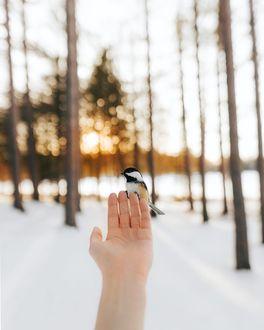 Фото Синица на руке девушки, фотограф Valеrie Derome-Massе