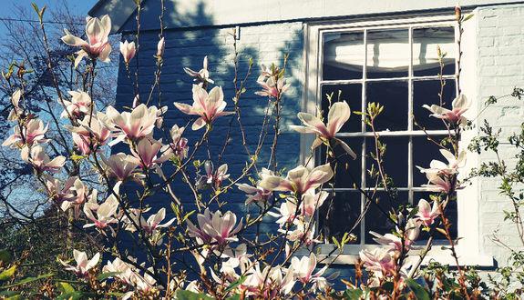 Фото Цветущая магнолия около дома, фотограф Suzy Hazelwood