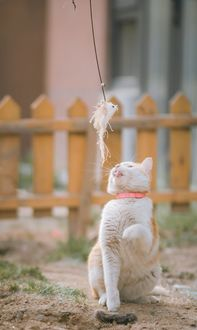 Фото Кошка с розовым ошейником смотрит на игрушку, фотограф Buenosia Carol
