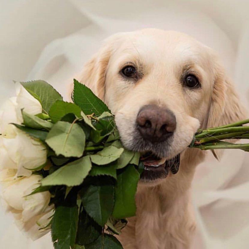 розы картинки с собаками спальни
