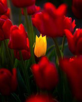 Фото Желтый тюльпан среди красных