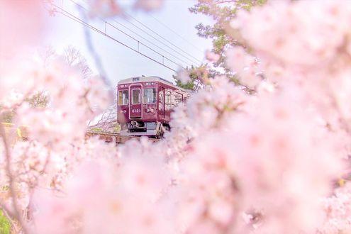 Фото Трамвай за цветущими весенними деревьями, by yusei_view
