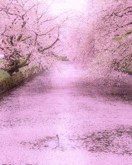 Фото Цветущие весенние деревья над каналом, by yusei_view