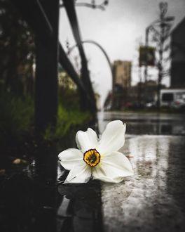Фото Белый цветок лежит на асфальте, by Craig Warnhoff